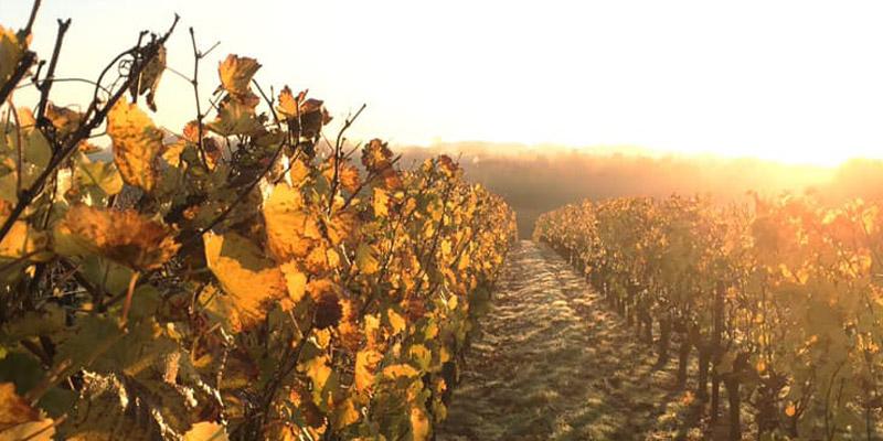 vignes au soleil levant, crédit photo : Domaine Lefort